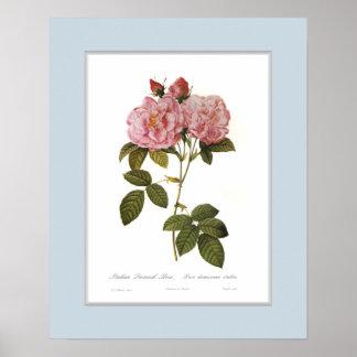 Rosa damascena italica,Custom border Poster