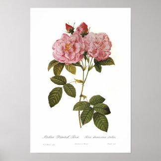 Rosa damascena italica poster