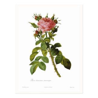 Rosa damascena macrocarpa postcard