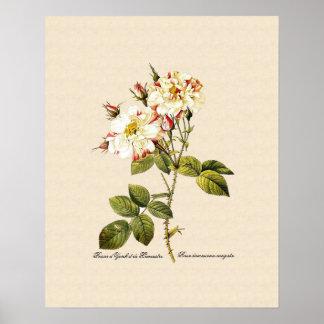 Rosa damascena variegata poster