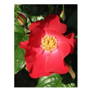 Rosa de arbusto del azafrán 223 tarjetas postales