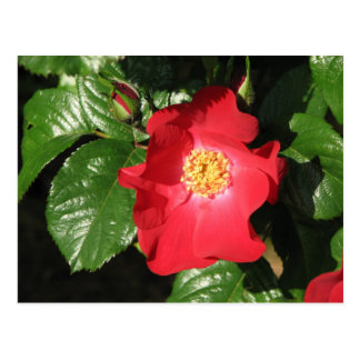 Rosa de arbusto del azafrán 223 postal