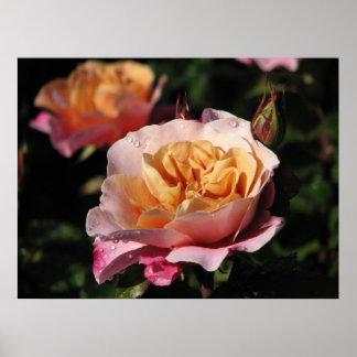 Rosa de arbusto distante de los tambores 143 póster
