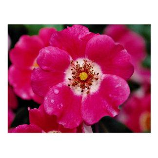 """Rosa de arbusto rosado de Meidiland (TM) """"Meipoque Tarjetas Postales"""