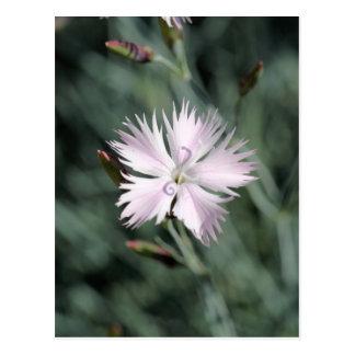 Rosa de Cheddar (gratianopolitanus del clavel) Tarjeta Postal