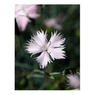 Rosa de Cheddar (gratianopolitanus del clavel) Tarjetas Postales