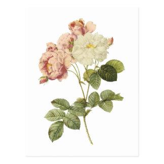 rosa de damasco (celsiana del damascena de Rosa) Postales