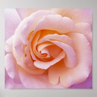 Rosa de jardín inglés del país y poster subió melo