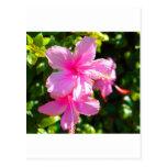 Rosa de la flor del hibisco tarjetas postales