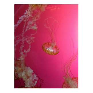 Rosa de las medusas postal