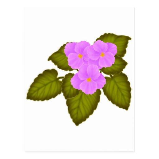 Rosa de las violetas africanas postal