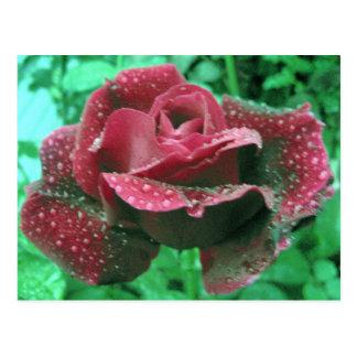Rosa de Oregon cubierto en gotas de agua Tarjetas Postales