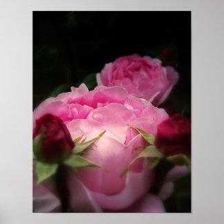 Rosa de rosas inglés póster