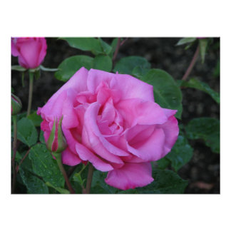 Rosa de té híbrido de McCartney 168 Póster