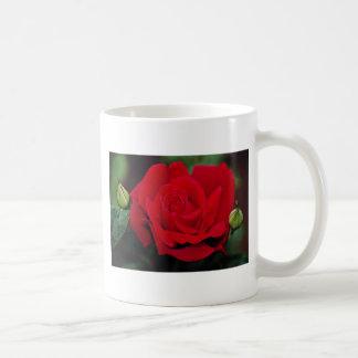 """Rosa de té híbrido flores blancas imperiales de """"C Taza Básica Blanca"""