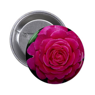Rosa de té híbrido precioso 'Tiffany'leaves Pin