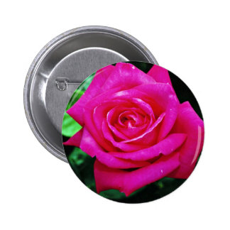 """Rosa de té híbrido """"Srta. Todo-americano Beauty"""" f Pins"""