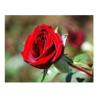 Rosa de té rojo tarjeta postal