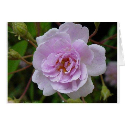 Rosa del almizcle Himalayan de Paul Tarjeta De Felicitación