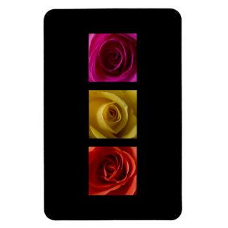 Rosa del amarillo anaranjado de los rosas del iman