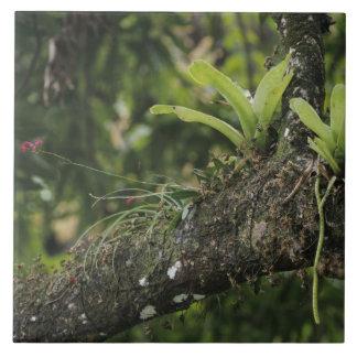 Rosa del pino, purpurea del Bletia, floreciendo en Tejas Cerámicas