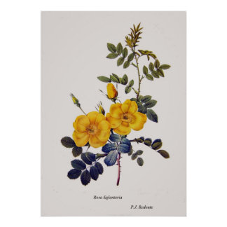 Rosa Eglanteria, wild roses,P. J. Redoute Poster