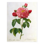 Rosa Gallica Aurelianensis Post Cards