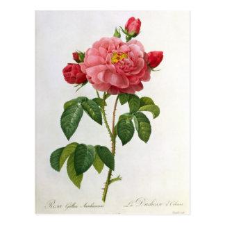Rosa Gallica Aurelianensis Postcard
