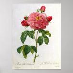 Rosa Gallica Aurelianensis Poster