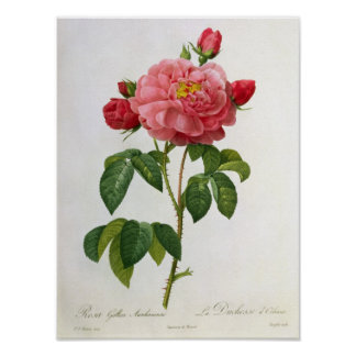 Rosa Gallica Aurelianensis Posters