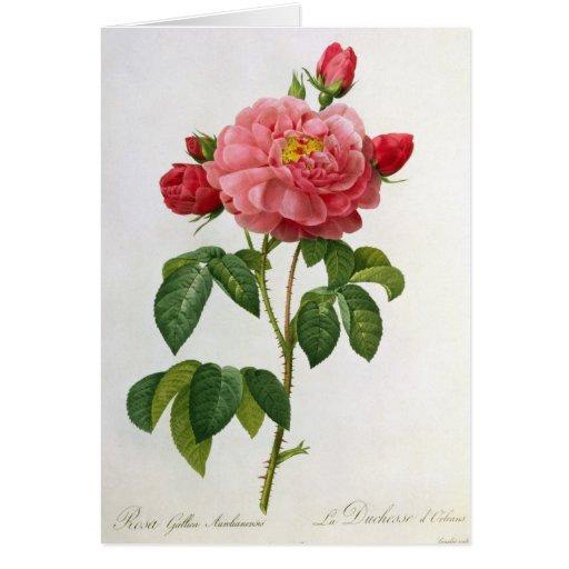 Rosa Gallica Aurelianensis Tarjeta De Felicitación