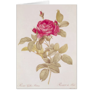 Rosa Gallica Pontiana, from 'Les Roses' Card