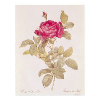 Rosa Gallica Pontiana, from 'Les Roses' Postcard