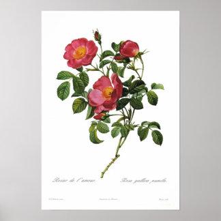 Rosa gallica pumila by Pierre-Joseph Redoute Poster