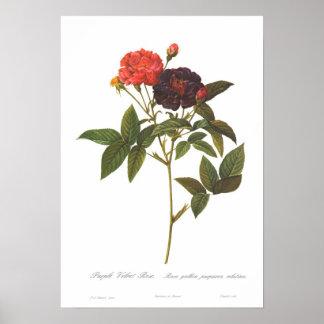 Rosa gallica purpurea velutina poster