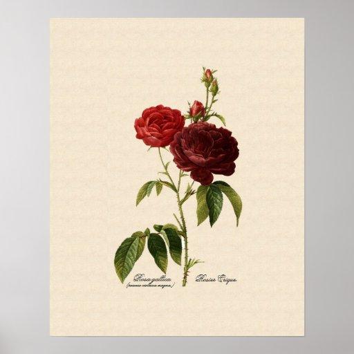 Rosa gallica purpuro-violacea magna poster