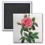 Rosa Gallica Regallis 2 Inch Square Magnet