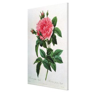 Rosa Gallica Regallis Canvas Print
