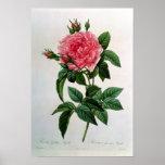 Rosa Gallica Regallis Impresiones