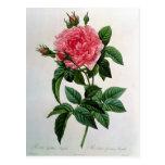 Rosa Gallica Regallis Postcard