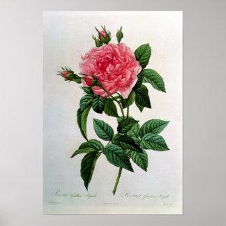 Rosa Gallica Regallis Poster