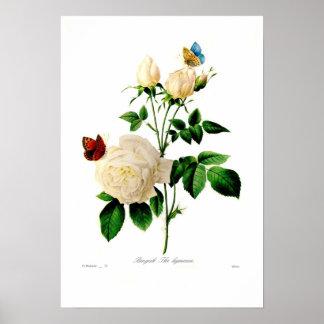 Rosa indica poster