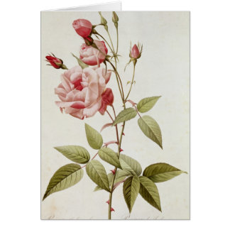 Rosa Indica Vulgaris, from 'Les Roses' Card