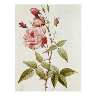 Rosa Indica Vulgaris, from 'Les Roses' Postcard