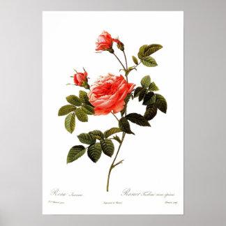 Rosa intermis print