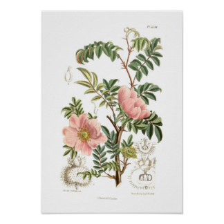 Rosa microphylla poster