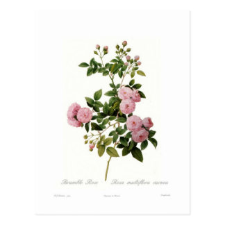 Rosa multiflora carnea Bramble Rose Post Cards