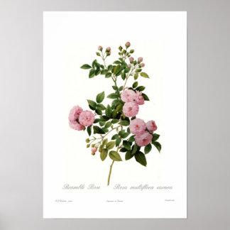 Rosa multiflora carnea(Bramble Rose) Poster