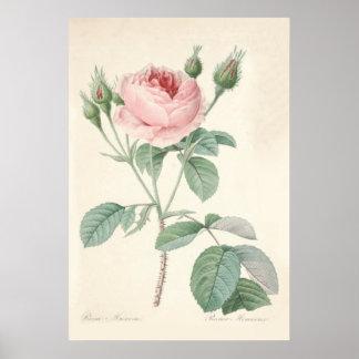 Rosa Muscosa Poster