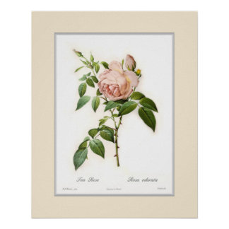 Rosa odorata,Custom border Poster